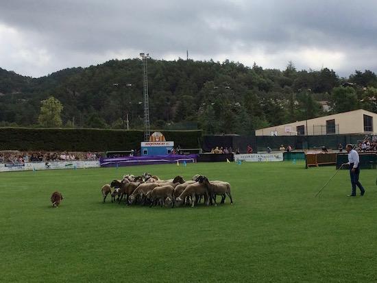 Manejando ovejas